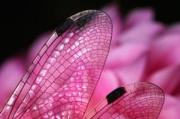 pink-dragon